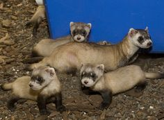 Mom with her babies (black-footed ferrets).   (photo by mehgan murphy, smithsonian's national zoo)