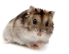 www.petclic.es la mayor tienda online de productos para #mascotas. La mayor biblioteca de contenido y consejos sobre mascotas. 1.000 consejos. 50.000 imagenes. Foto de #animales #roedores #hamster