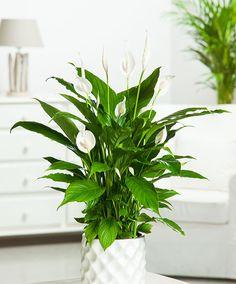Spathyphillum 'Strauss' (Peace Lily)