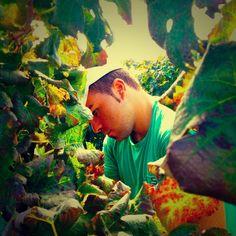 Harvesting at Contrada Gurra #cronovendemmia #settesoli #menfishire #sicily