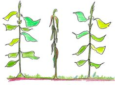 How Plants Communicate by Robert Krulwich, npr: They don't have eyes. Or ears. Or what we would call a nervous system. But plants can talk. And they listen... #Plants #Communication
