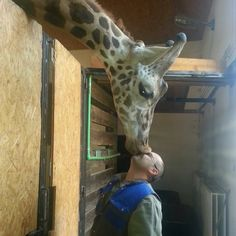 Tagged with World Giraffe Day; A giraffe and it's keeper Giraffe Pictures, Cute Animal Pictures, Funny Pictures, Pet Pictures, Random Pictures, Funny Images, Funny Pics, Animals And Pets, Baby Animals