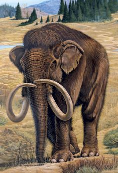 The Columbian Mammoth one of the last of its kind looking for what little nutritious grass there is