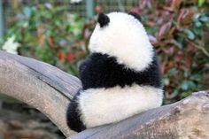 panda A cute, round figure Cute Funny Animals, Funny Animal Pictures, Cute Baby Animals, Animals And Pets, Panda Bebe, Cute Panda, Panda Panda, Tier Fotos, Cute Bears