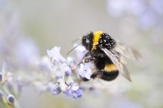 Bumblebee Bummer: This Native Bee Is Facing Extinction | TakePart