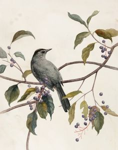 Catbird and Silky Dogwood, by Alex Warnick.