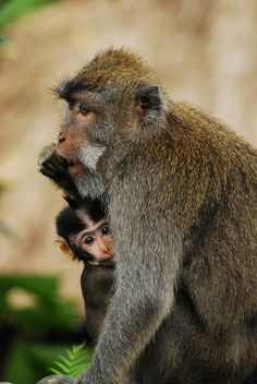 Monkey Mumma and baby.