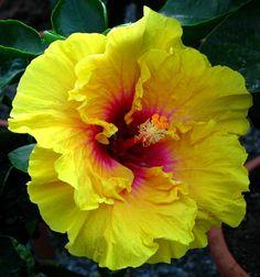 """Tahitian Sun Fire"" Hibiscus"