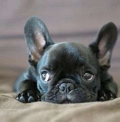 'I Saw That', Nosey French Bulldog.