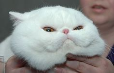 White exotic shorthair cat TOO CUTE!!!!!!! I WANT 1 SO BAD!