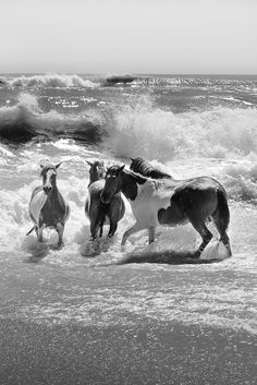 Assateague Horses  - they look like children playing at the beach - pure joy)