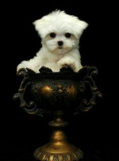 Chrisman pup :) Teacup Puppies, Cute Puppies, Dogs And Puppies, Doggies, Baby Animals, Cute Animals, Dog Emoji, Dog Comics, Maltese Dogs