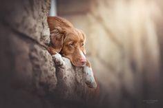 Dog Photography, Creative Photography, Nova Scotia Duck Tolling Retriever, Outdoor Dog, Labradoodle, Dog Photos, Mans Best Friend, Dog Love, Cute Animals