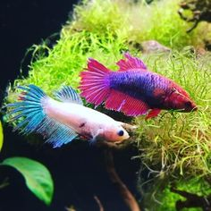 Two beautiful females hangin' out together in the live plants :) #femalebetta #betta #bettafish #tropicalfish