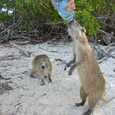 """""""Photo by A very thirsty group of Hutia approached us for water when we landed on a small island in the Gardens of the Queen Cuba. Marine Ecosystem, Degu, Capybara, Red Sea, Small Island, Archipelago, When Us, Rodents, National Geographic"""