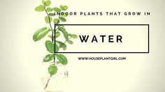 Indoor plants that grow in water