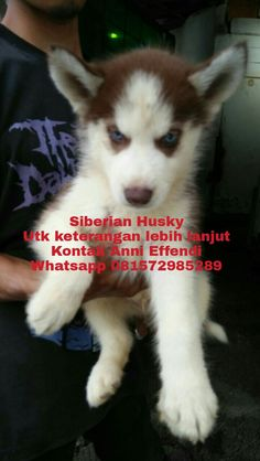 VON JAVELLINE KENNEL  Siberian Husky  MALE and FEMALE  Stamboom on progress , vaksin DONE  Obat cacing done Anni Effendi Whatsapp 081572985289 Pin BBM 51A22388  www.facebook.com/VonJavellineKennel breederanjingras.blogspot.co.id vonjavellinekennel.wordpress.com IG : von_javelline_kennel  #puppies  #anjingras  #jualanjing  #anjingrasmurah  #puppiesofinstagram  #jualanjingmedan  #jualanjingmanado  #jualanjingsolo  #jualhusky  #jualhuskymurah  #jualanjingbandung  #jualanjingjakarta…