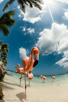 Renaissance Island, Aruba Relax with the island's pink flamingos. We have the right suitcase for your trip: www. Renaissance Island, Aruba Relax with the island's pink flamingos. Renaissance, Amazing Animals, Cute Animals, Baby Animals, Funny Animals, Pink Flamingos, Beautiful Birds, Strand, Animal Kingdom
