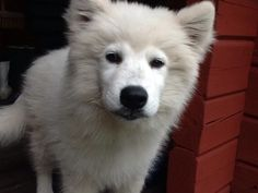 Ozzy Mixed Breed, Husky, Animals, Wolves, Animales, Animaux, Mixed Race, Animal, Animais