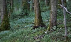 Pine marten spotted in Britain for the first time in 100 years