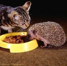 """Just cause you have spines,doesn't mean you can help you can help yourself to my food.. Have some courtesy, hoggy hedge."" Cat and hedgehog having a disagreement about the food they are sharing."