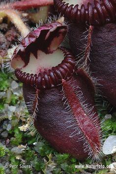 Pitcher Plant. Sarracenis Purpurea.