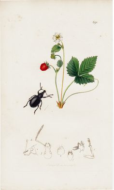 Wood Strawberry and Beetle, 1824 antique print