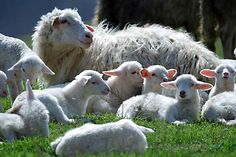 249 best lambs sheep images on pinterest sheep cut animals and