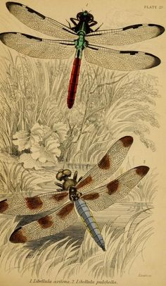 Dragonflies. The Naturalist's Library. 1830s-40s.