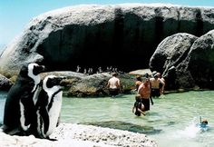 Swim with Penguins, Boulders Beach, Cape Town, South Africa. AHHHHHH next destination= Cape Town, South Africa. I HAVE to go swim with the penguins! Oh The Places You'll Go, Places To Travel, Places To Visit, Boulder Beach, Cape Town South Africa, Kruger National Park, Africa Travel, Adventure Is Out There, Historical Sites