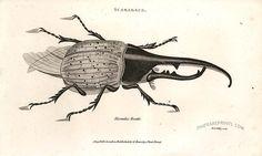 Antique print: Hercules beetle - Scarabaeus
