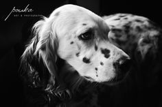 Black and White English Setter portrait.