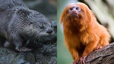 A rare golden lion tamarin monkey at the Bristol Zoo Gardens fell into a lake and was eaten by otters, a whistleblower told the Bristol Post. The incident is just one in a series of traumas that have befallen endangered species at the zoo in recent months.