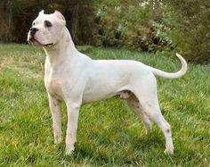 Beautiful Dogo Argentino