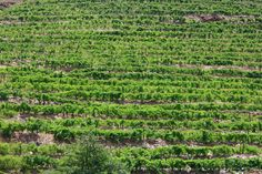 portuguese vineyards | linewithline