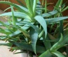 Aloe Vera vermehren - so geht's