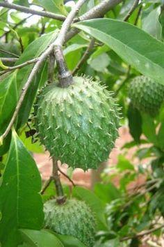 Como plantar graviola - 11 passos - umComo