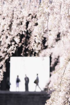 Japanese weeping cherry trees