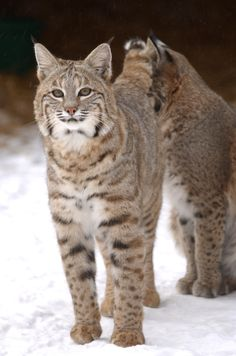 Bobcat -  a species that is native to Ohio, and one of seven feral cat species found in North America. Domestic cats belong to the same family, Felidae, as the bobcat.  Read more..