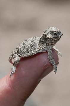 Cute little reptile! We had horned toads on our ranch in North Texas  when I was a girl. They have disappeared. Sad.