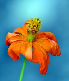 Flower, Alto Paraiso. Goias.