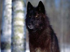 Loup 5