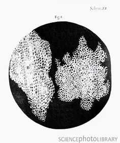 """1665: Robert Hooke and 1st use of the term """"cell,"""" to describe a slice of cork"""