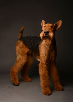 Airedale. By the McCartneys.