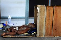 Anyin, a sick orangutan (Pongo pygmaeus), lies on the floor as it waits to be transported to a hospital, in Pontianak, west Kalimantan province June 23, 2012. The orangutan was stricken with malaria, typhoid, and ulcers when it was taken from its owner, a villager in Kartiasa in Sambas. Anyin will be admitted to the orangutan rehabilitation centre run by the International Animal Rescue (IAR) in Ketapang. Picture taken June 23, 2012.