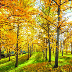 The Golden Trees of Fall   Brighten up autumn skies with the sunny leaves of ginkgoes.