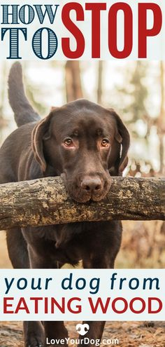Do twigs and wood really pose a serious threat to your dog's health? In this article we will discuss the potential dangers of wood chewing, and ways to get your pup to stop! #LoveYourDog #DogEatingWood #IsWoodDangerousFOrDogs #WhyDoesMyDogEatWood #HowToStopDogFromEatingWood ##DogChewingOnWood #DogBehavior Dog Information, R Dogs, Dog Eating, Dog Behavior, Fun Activities, Your Dog, Labrador Retriever, Pup, Poses