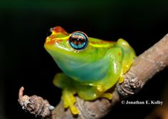 Central bright-eyed frog (Boophis rappiodes), Madagascar. Photo: Jonathan Kolby