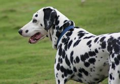 dalmation dog photo | How to Stop Puppy Biting & Dog Training Tips