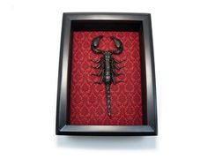 Taxidermy Scorpion Art Display Real Scorpion Insect by bonejewelry